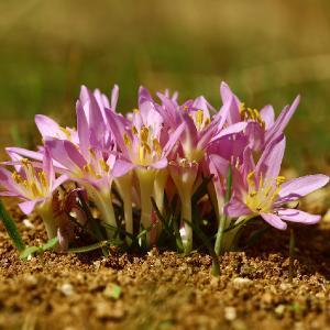 Растение семейства Мелантиевых (Melanthiacea) Автор фото: Александр Гибхин
