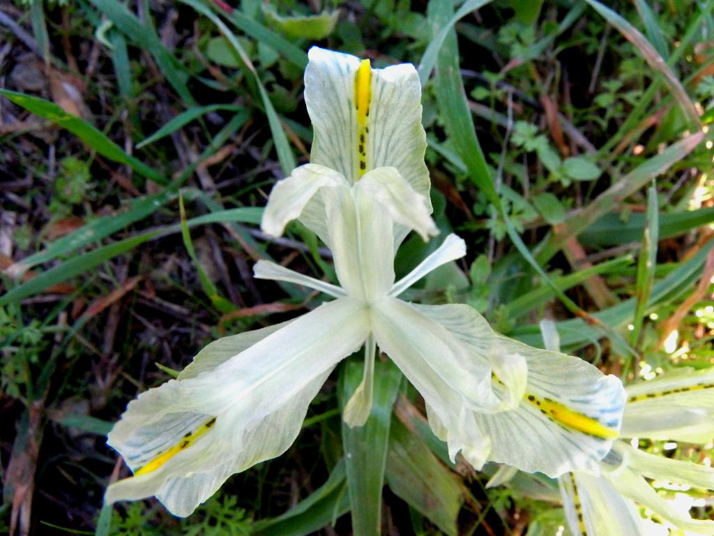 Юнона палестинская (Iris palaestina). Автор фото: Александр Гибхин