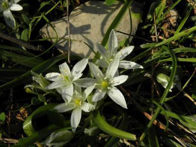 Растения семейства Гиацинтовых (Hyacinthaceae) Автор фото: Александр Гибхин