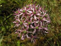 лепестков 6,околоцветник актиноморфный,соцветия - зонтик,s:травянистые,s:розеточные,s:луковичные,d:в Израиле