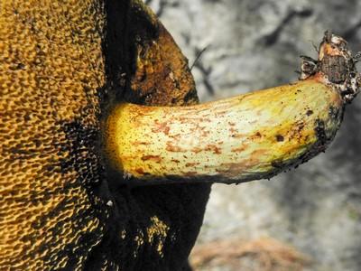 Масленок средиземноморский (Suillus mediterraneensis) Автор фото: Александр Гибхин