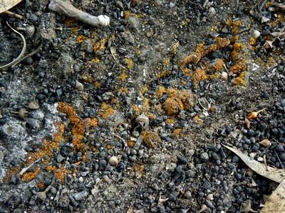 Грибы найдены на месте сгоревшей эвкалиптовой рощи. Этот вид Антракобий похож на другой вид из этого рода, обитающий в Израиле -- Anthracobia melaloma, но достигает не более 3мм в диаметре в раскрытом виде в отличии от Anthracobia melaloma, которая может иметь апотеции диаметром более 1см. Автор фото: Александр Гибхин