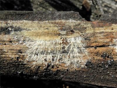 Coniophora olivacea Автор: Александр Гибхин