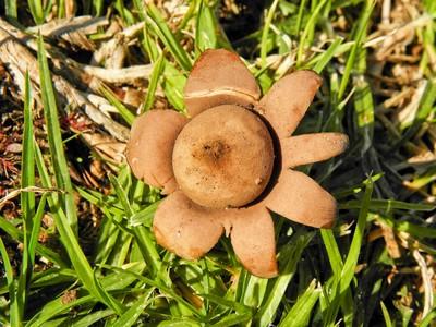 Звездовик цветковидный (Geastrum floriforme) Автор: Александр Гибхин