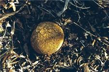 Мириостома шейковидная (Myriostoma coliforme)