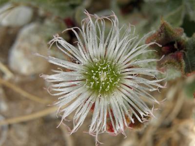 Мезембриантемум хрустальный(Mesembryanthemum crystallinum) Автор: Александр Гибхин