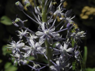 Пролеска гиацинтовидная (Scilla hyacinthoides). Автор: Александр Гибхин