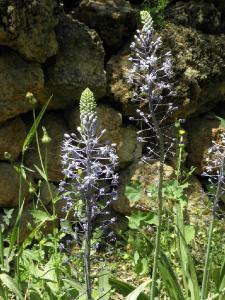 Пролеска гиацинтовидная (Scilla hyacinthoides) Автор: Александр Гибхин