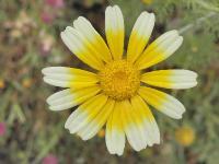 c:белые,c:желтые,околоцветник актиноморфный,лепестков 7 и более,s:травянистые,d:в Израиле