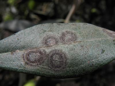 На листьях и плодах Оливкового дерева. Автор фото: Александр Гибхин
