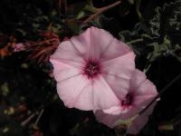 c:розовые,d:в Израиле