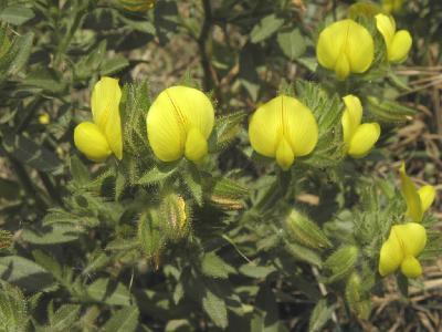Стальник пушистый (Ononis pubescens) Автор: Александр Гибхин