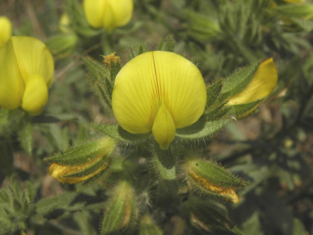 Ononis pubescens; Автор фото: Александр Гибхин