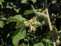 Гревия мохнатая(Grewia villosa)