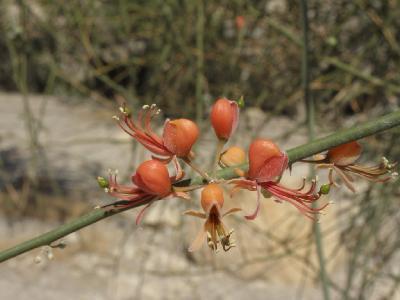 Каперс листопадный(Capparis decidua). Автор: Александр Гибхин