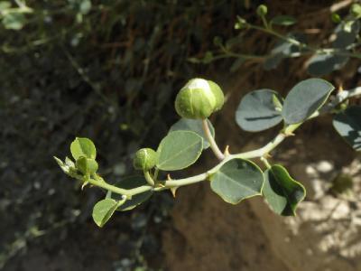 Каперс сицилийский (Capparis sicula). Автор: Александр Гибхин