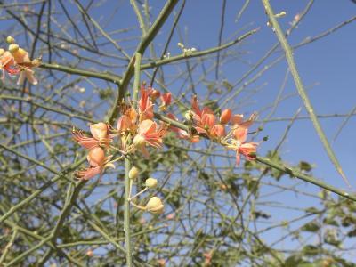Каперс листопадный(Capparis decidua) Автор: Александр Гибхин