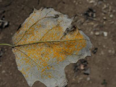 На листьях белого тополя. Автор фото: Александр Гибхин