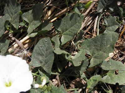 Вьюнок полевой (Convolvulus arvensis) Автор: Александр Гибхин
