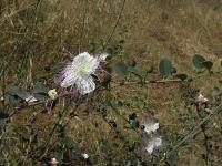 Каперс колючий (Capparis spinosa)