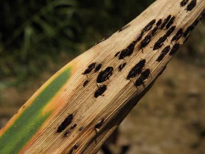 На листьях Phragmites australis. Автор фото: Александр Гибхин