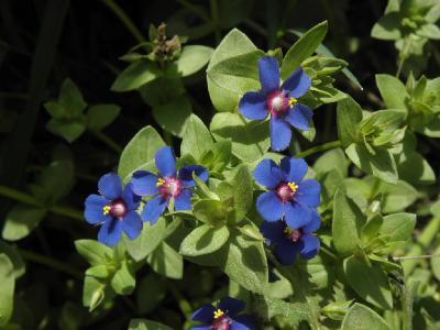 Очный цвет полевой (Anagallis arvensis) Автор: Александр Гибхин