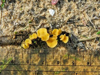 Phaeohelotium tamaricis Автор: Александр Гибхин
