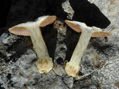 Cortinarius subarquatus. Автор: Александр Гибхин