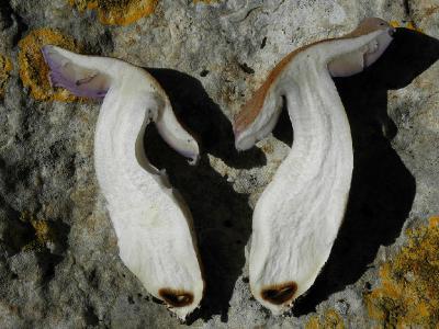 Cortinarius crustulinus Автор: Александр Гибхин