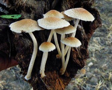 Грибы найдены в декабре, после сильного дождя, на ореховой плантации. Росли на сильноразложившемся куске орехового дерева. Автор фото: Александр Гибхин