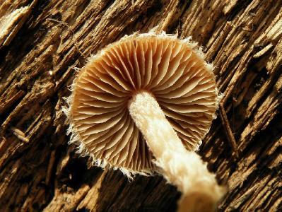 Грибы найдены в декабре на старой ореховой плантации, недалеко от города Ашдод. Росли в не большом количестве на почве среди прошлогодних остатков однолетних растений. Автор фото: Александр Гибхин