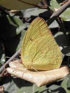 Встретил эту бабочку только один раз, рядом с городом Ашдод. Как у крушиниц крылья у Catopsilia florella, когда она сидит, постоянно закрыты. Автор фото: Александр Гибхин