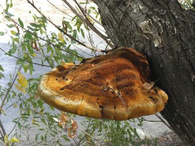 Очень крупные грибы, шляпки могут достигать полуметровой длины. Грибы найдены на тополях в районе поселения Ницан. Автор фото: Александр Гибхин