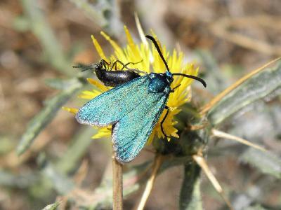 Красивые, небольшие бабочки. Встречаются весной на цветущих  лугах. Автор фото: Александр Гибхин