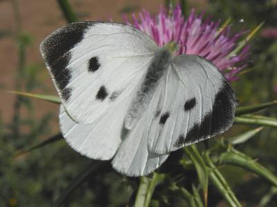 В Израиле эти бабочки один из наиболее распространённых видов. Автор фото: Александр Гибхин