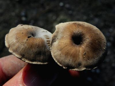 Грибы найдены в сосновом лесу на кострище, рядом с городом Модиин. Автор фото: Александр Гибхин