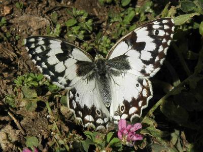 Красивая большая бабочка. Обитает в лесах на севере Израиля. Автор фото: Александр Гибхин