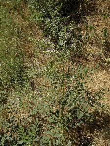 Солодка голая (Glycyrrhiza glabra) Автор: Александр Гибхин