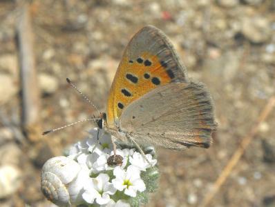 Встречал этот вид на  лугах в центре Израиля. Автор фото: Александр Гибхин