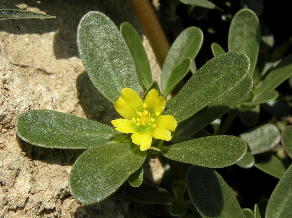 Портулак огородный (Portulaca oleracea). Автор фото: