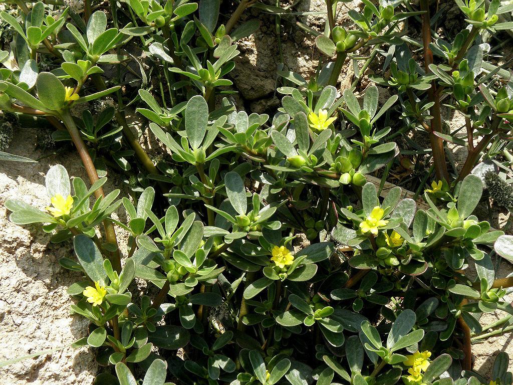 Портулак огородный (Portulaca oleracea). Автор фото: Александр Гибхин