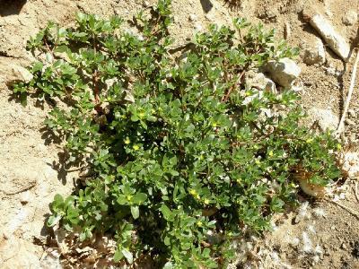 Растёт на берегах рек и на паровых полях. Считается сорняком. Вкусное съедобное растение.Применяют в зелённых салатах, в холодниках и борщах. Автор фото: Александр Гибхин