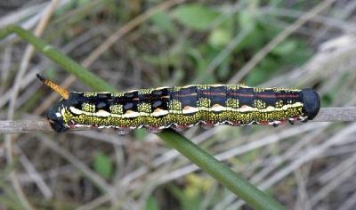 Бабочка из семейства бражников. Редкая бабочка,обитает в северной части Израиля Автор фото: Александр Гибхин