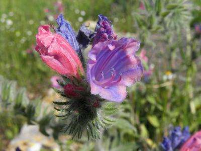 Синяк узколистный (Echium angustifolium) Автор: Александр Гибхин