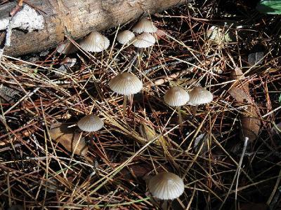 Грибы росли в большом количестве в сосновом лесу, рядом с поселением Бейт шемеш. Плодовые тела грибов появляются с ноября по февраль каждый год. Автор фото: Александр Гибхин