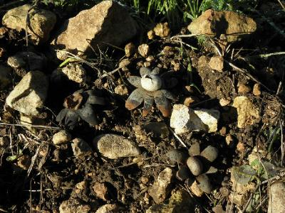 Грибы найдены на склоне ущелья на горе Кармель в середине декабря 2017 года. Автор фото: Александр Гибхин