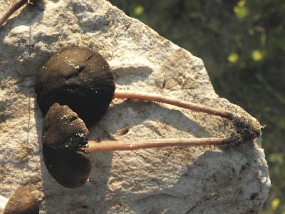 У этого вида Панеолусов сильная цветовая вариабельность шляпок. От светлобежевых тонов до почти чёрных. Автор фото: Александр Гибхин