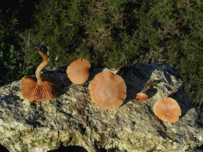 Грибы найдены в середине декабря 2017 года на горе Кармель, на лугу в траве. Автор фото: Александр Гибхин