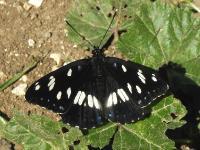 s:дневные бабочки,c:черные