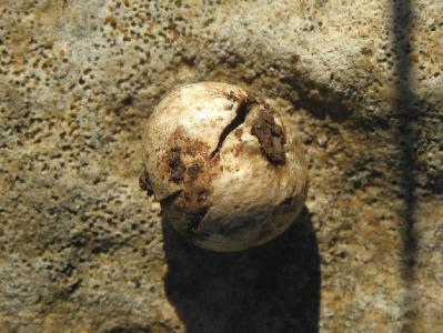 Грибы найдены в январе 2018 года на горе Кармель под дубами. Грибы растут гипогенно и полугипогенно. Наиболее крупное найденное плодовое тело достигало 2см.  Автор фото: Александр Гибхин